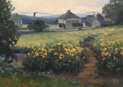 Sunflowers of Buttonwood Farms